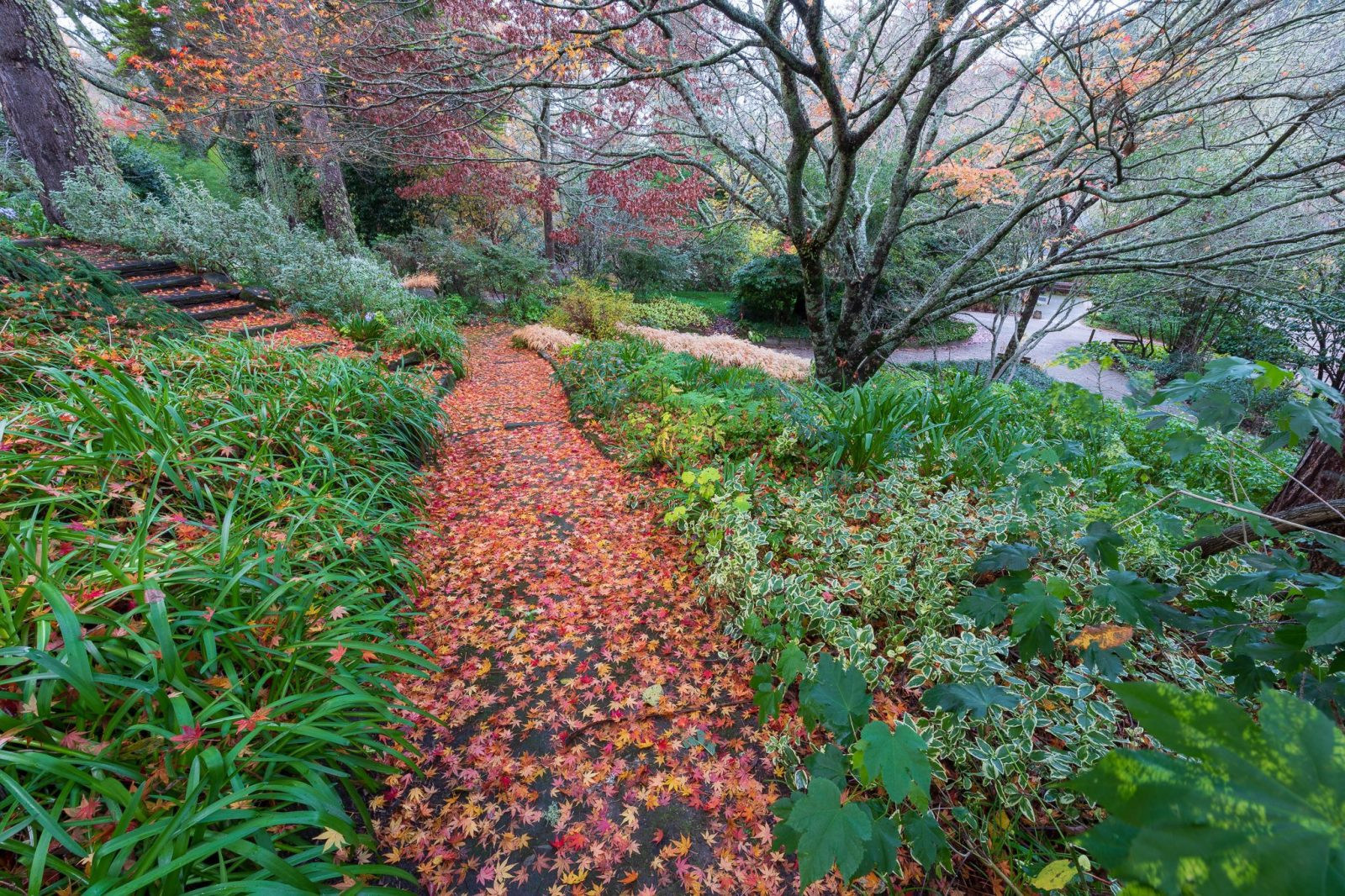 Japanese_Maple_covered_path_Scarlet_Oak_Pavilion_Hill_Golden_Border_Eastwoodhill_Arboretum_2048x2048
